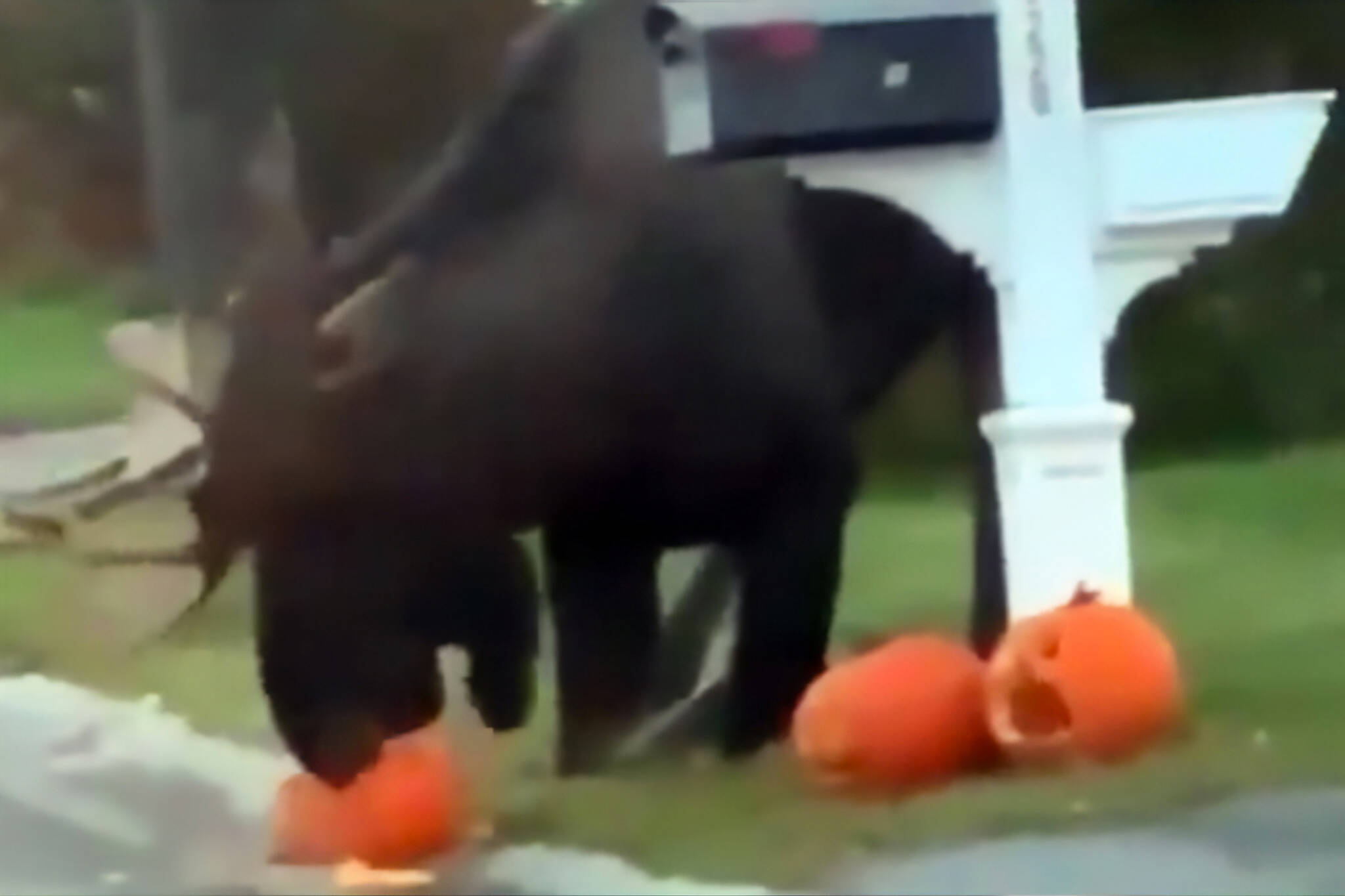 moose pumpkin video