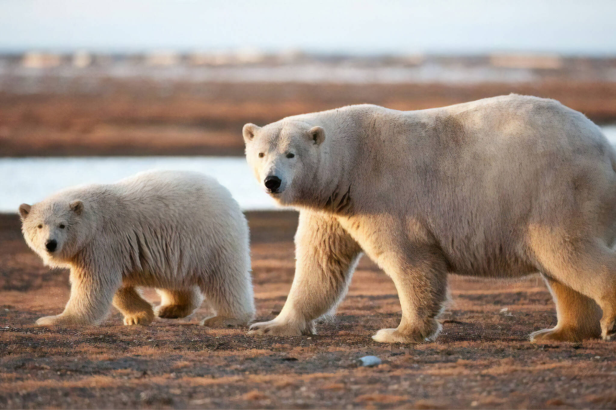 churchill manitoba polar bears