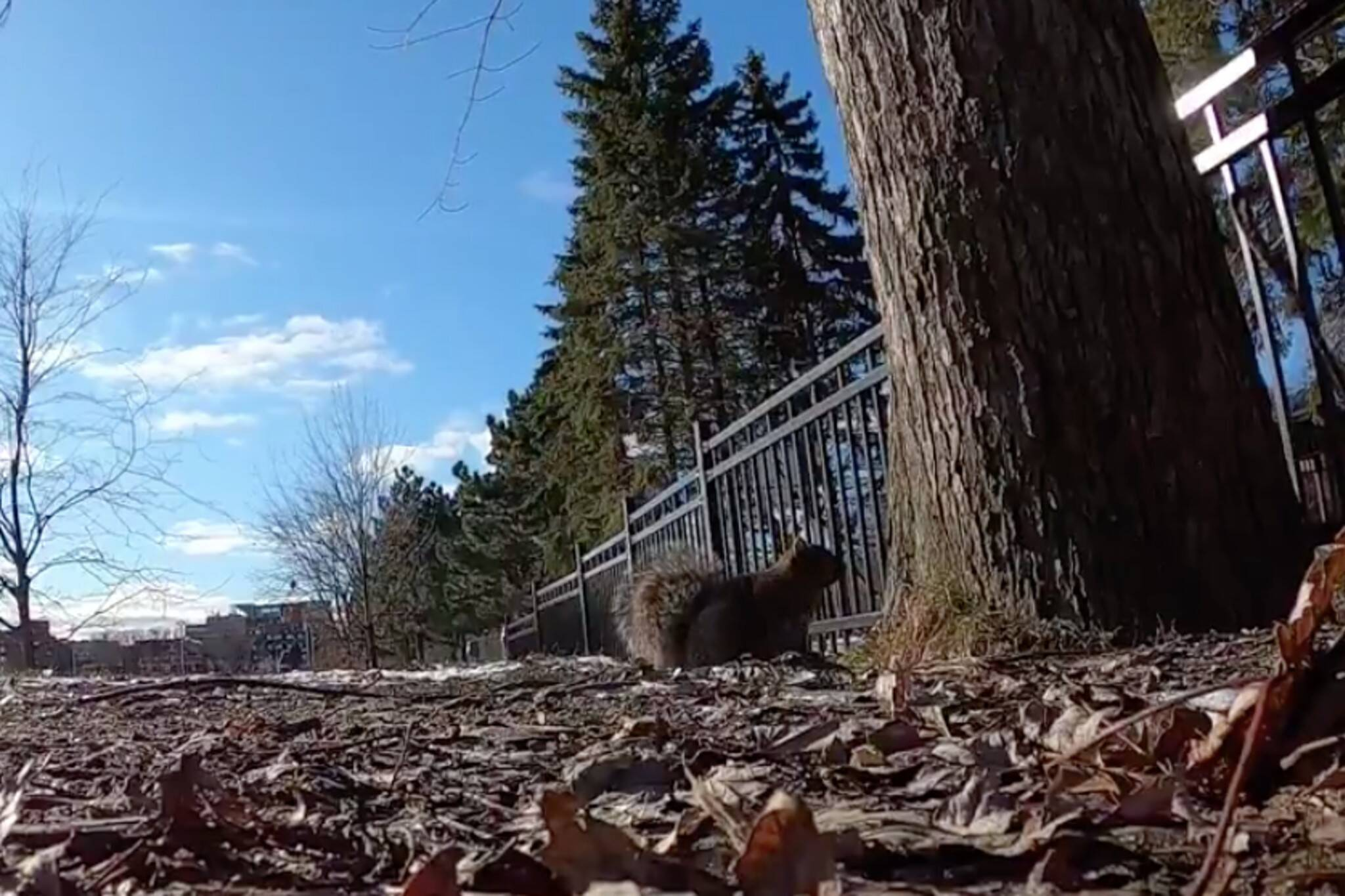 montreal squirrel gopro