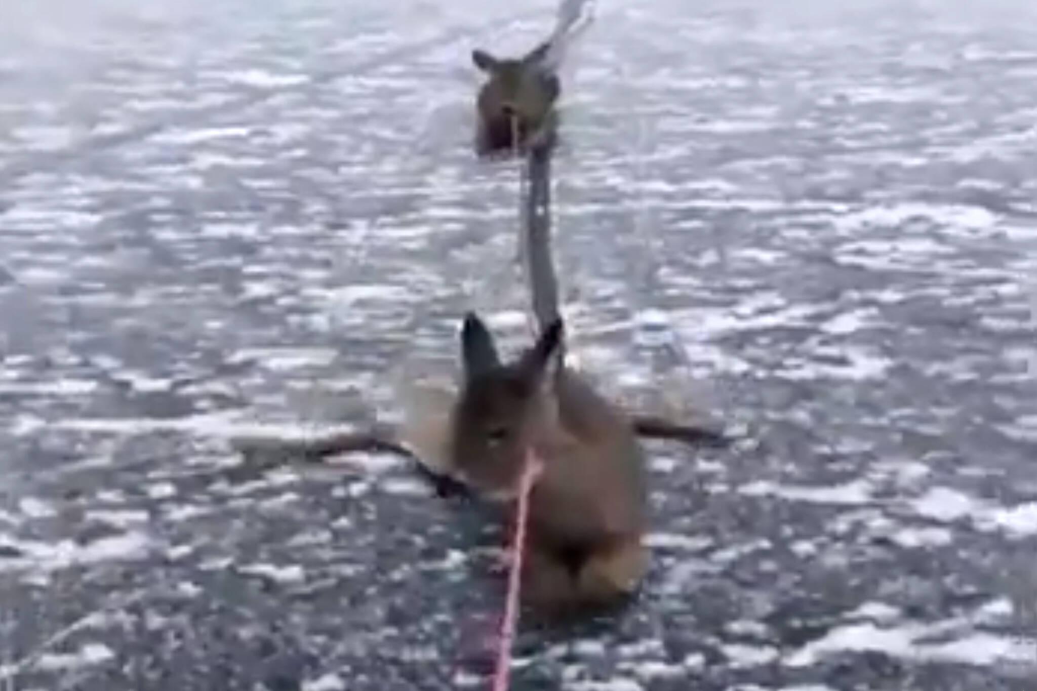 deer saved frozen lake canada