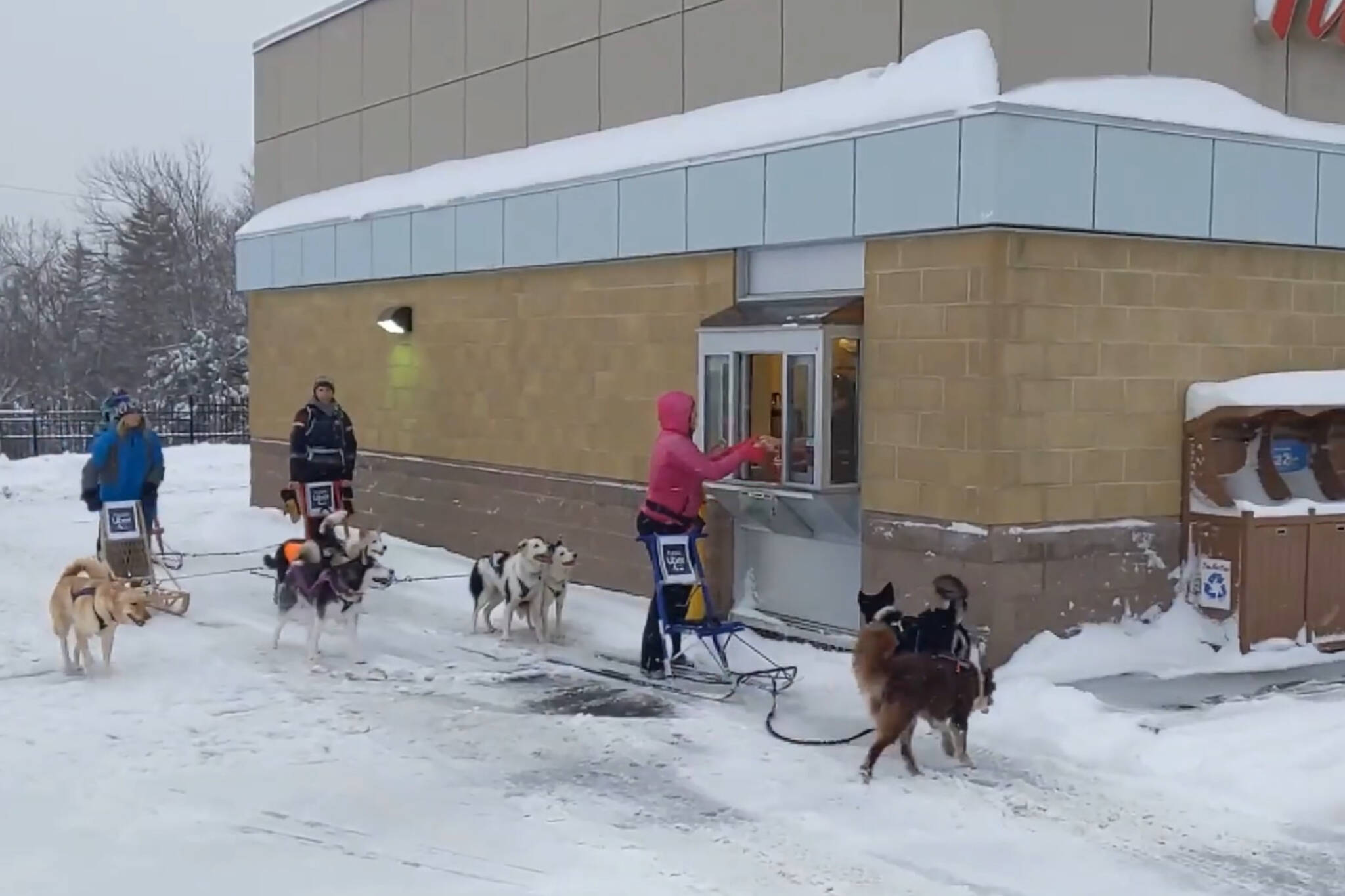 canada tim hortons dog sledding
