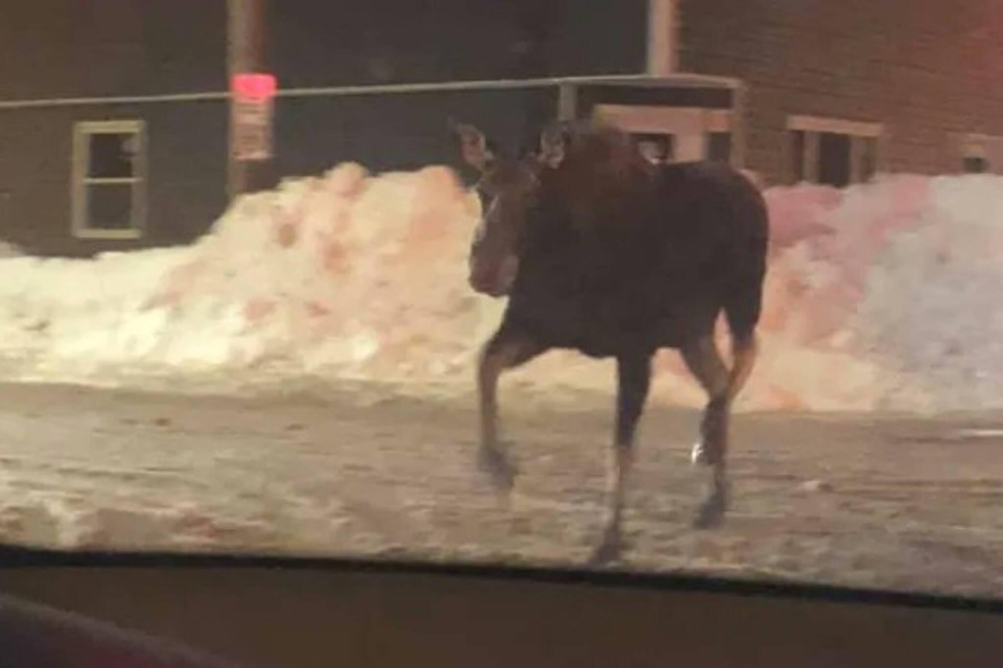 moose newfoundland
