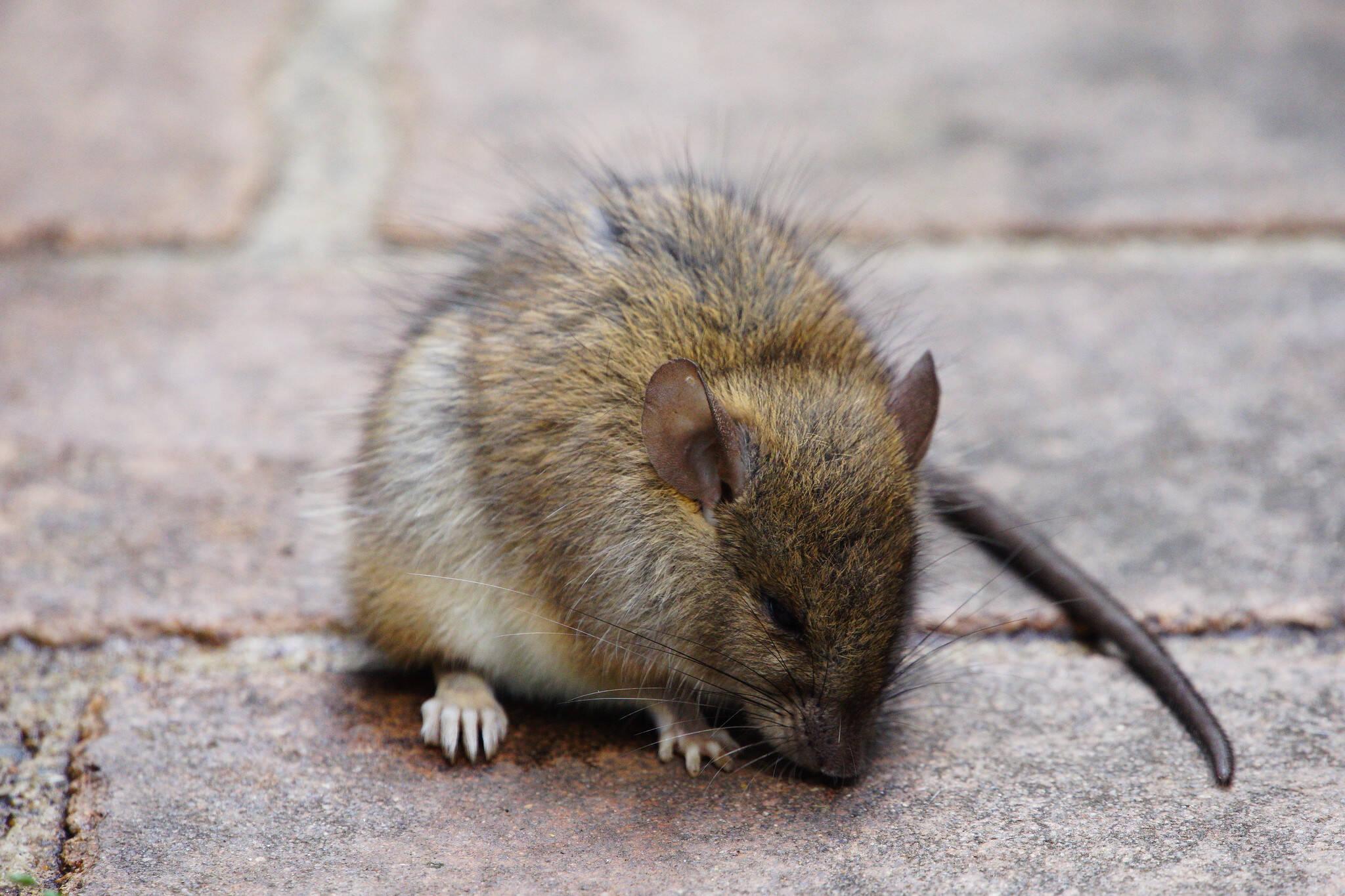 alberta rat free