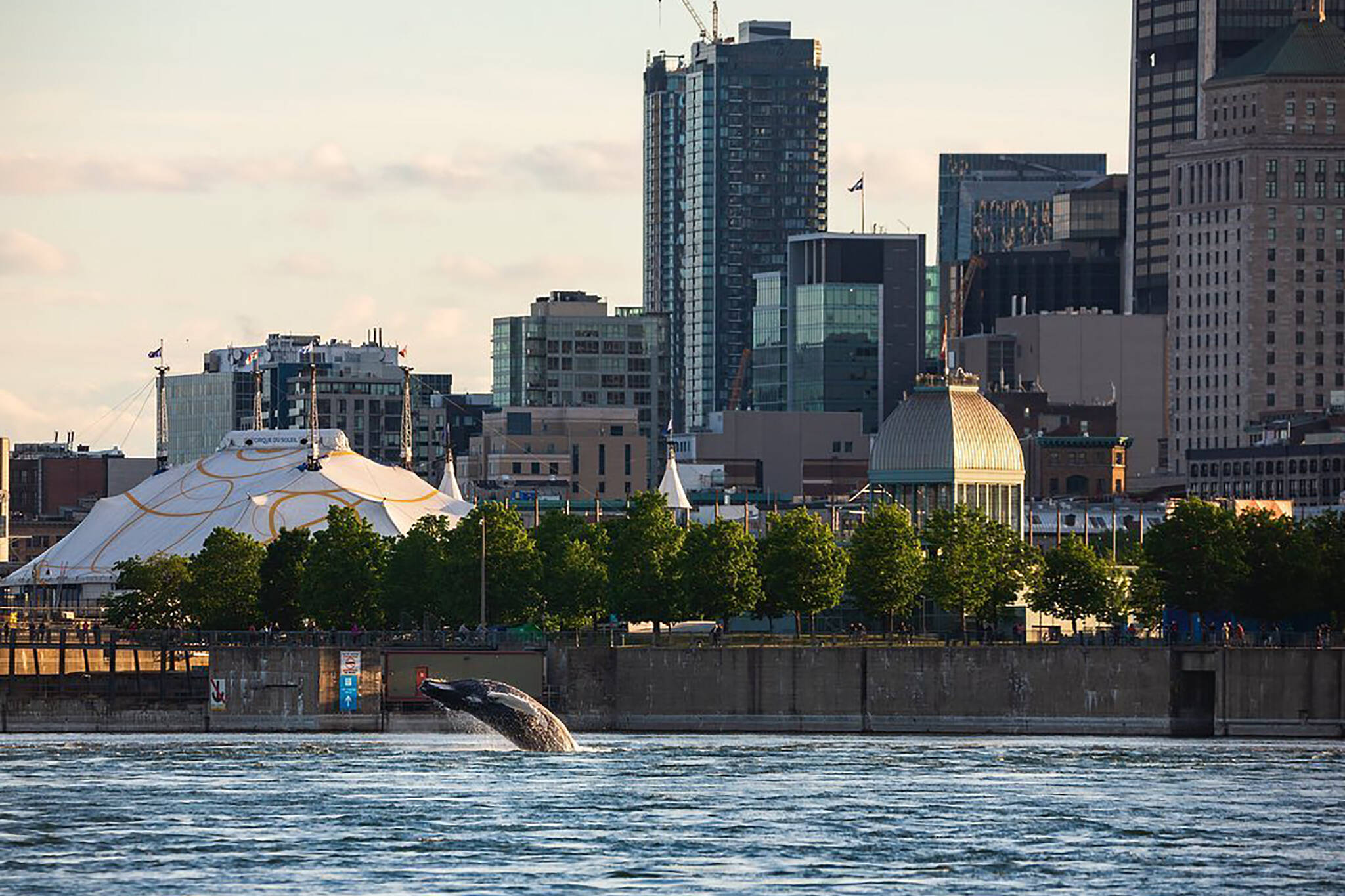 montreal dead whale boat