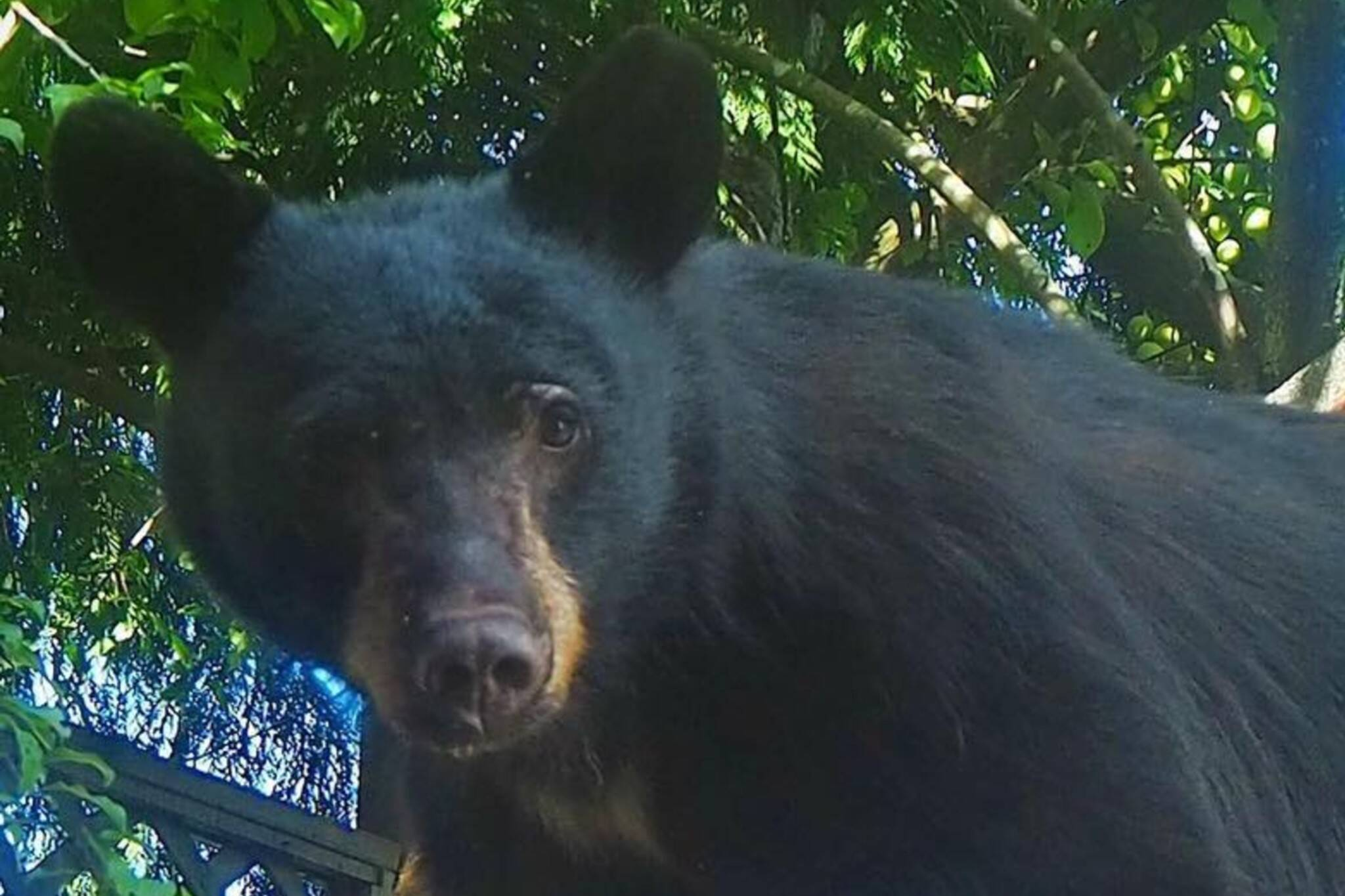 Huckleberry black bear