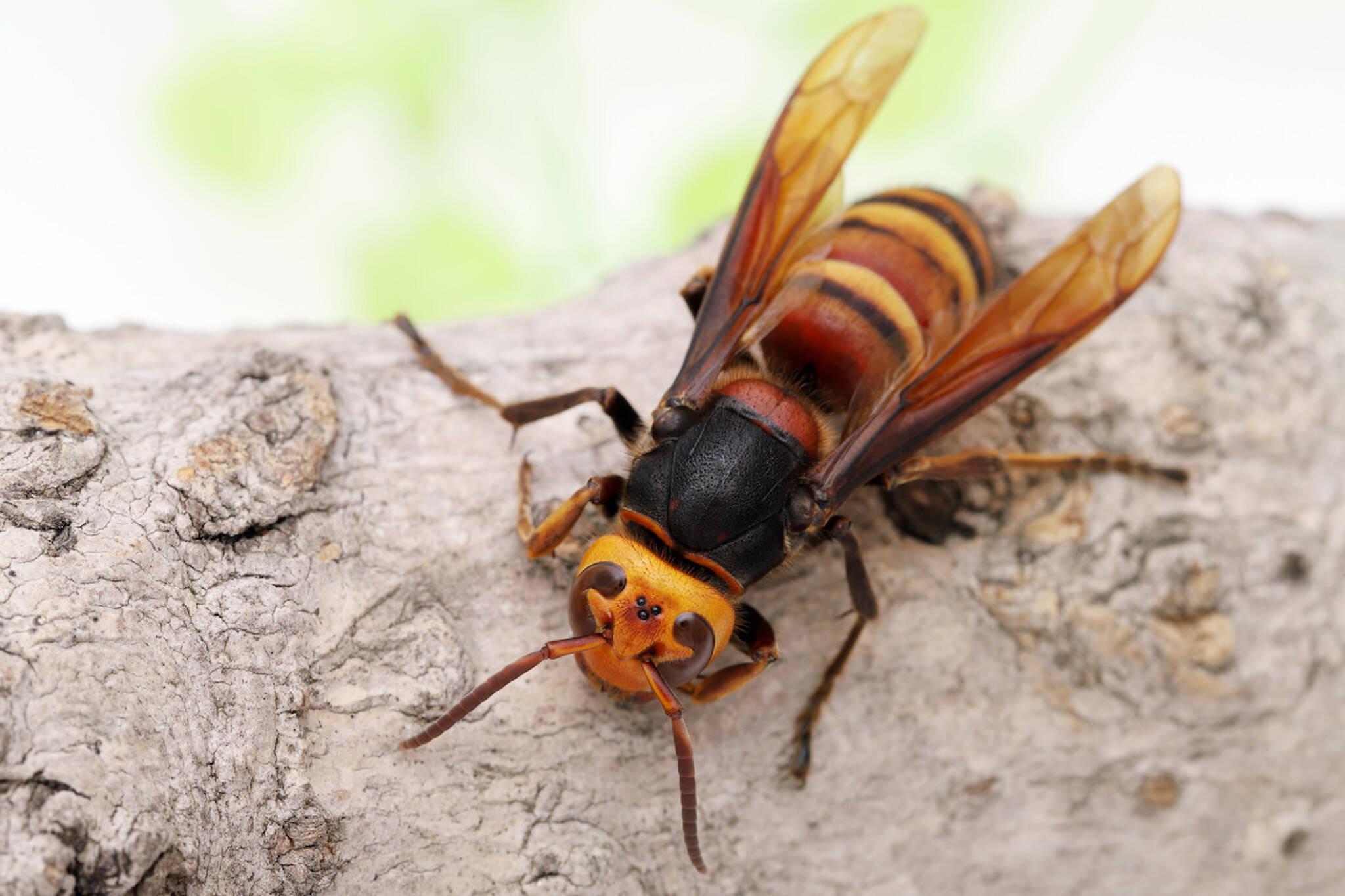 murder hornets canada